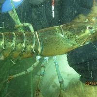 American Lobsters were found in all levels of chambers on the Habitat Moorings. Adult Lobsters like the one held here, were usually found in lower chambers.